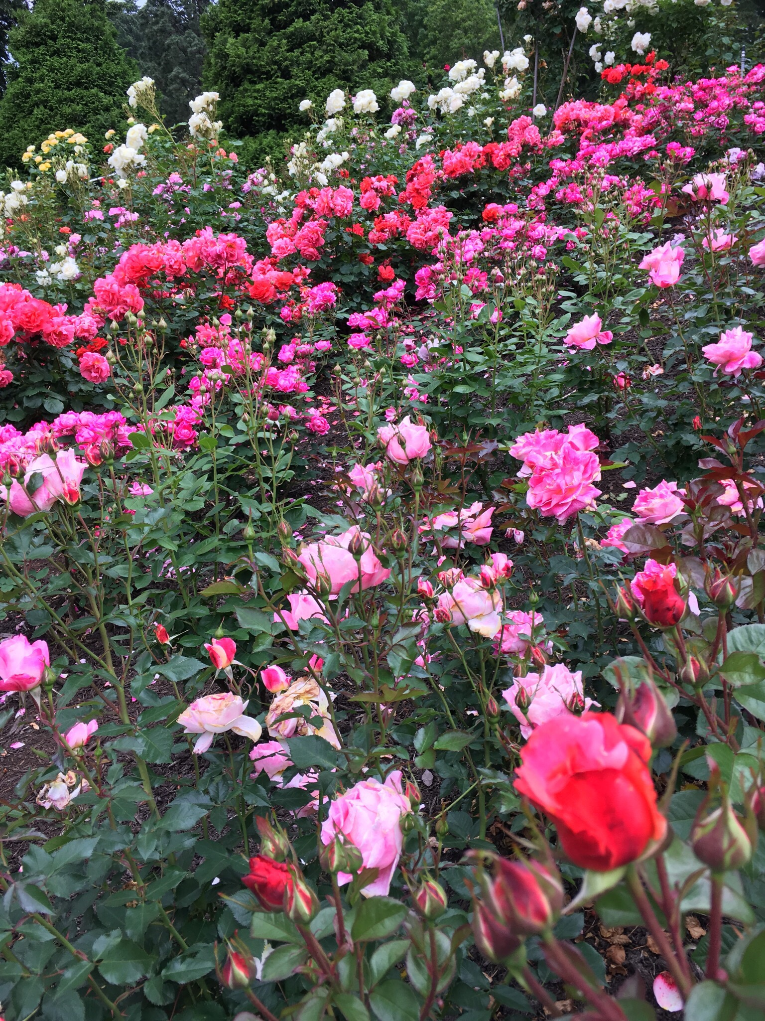 Portland s forest park meet you in the morning - Rose cultivars garden ...